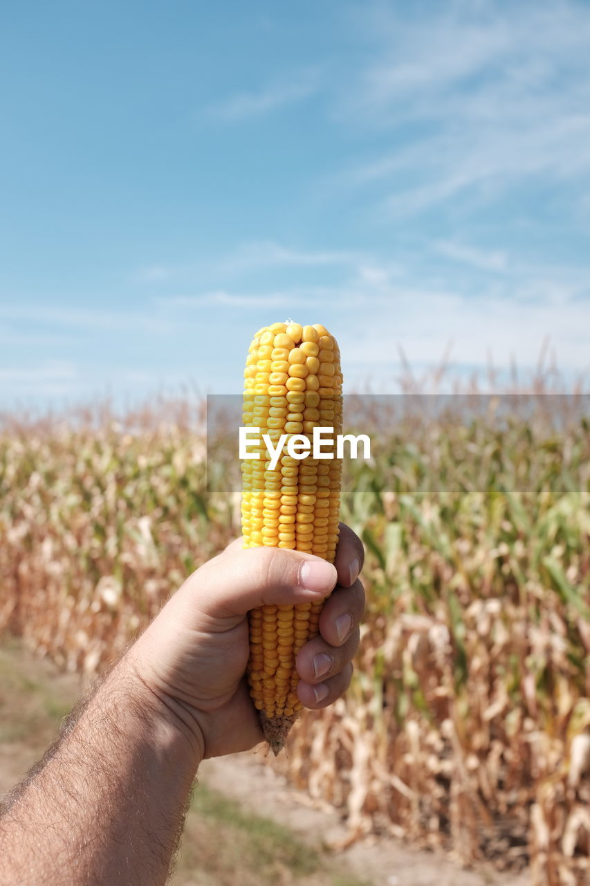 Cropped Hand Of Man Holding Sweetcorn On Field