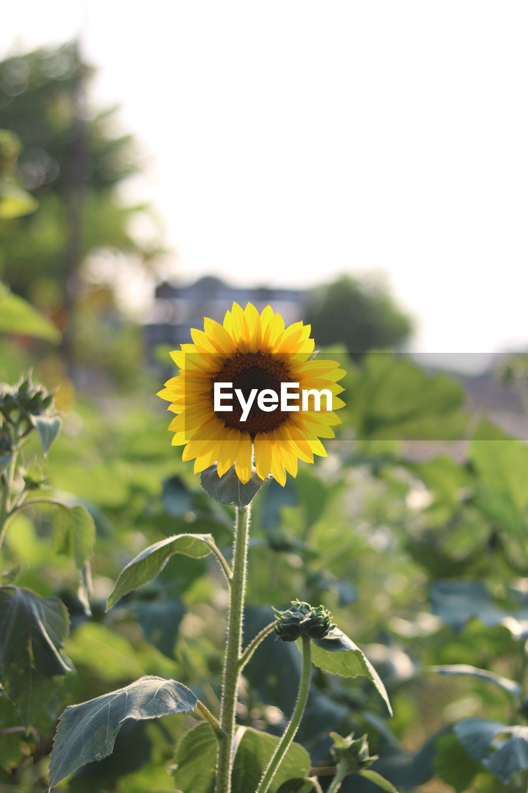 Close-up of sunflower growing outdoors against clear sky