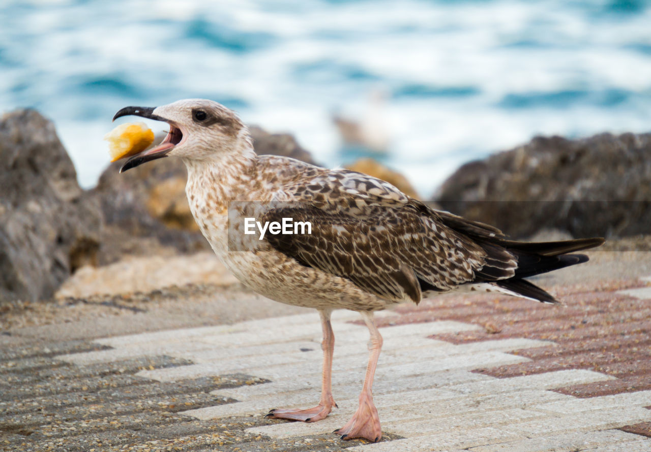 animal themes, animal, bird, animal wildlife, animals in the wild, vertebrate, one animal, focus on foreground, seagull, close-up, nature, no people, day, sea, water, side view, outdoors, land, zoology, full length, beak