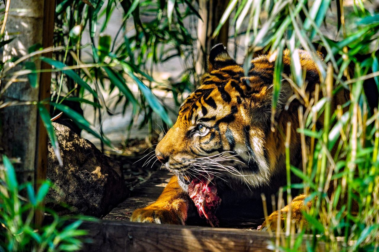 Tiger with eating prey on field