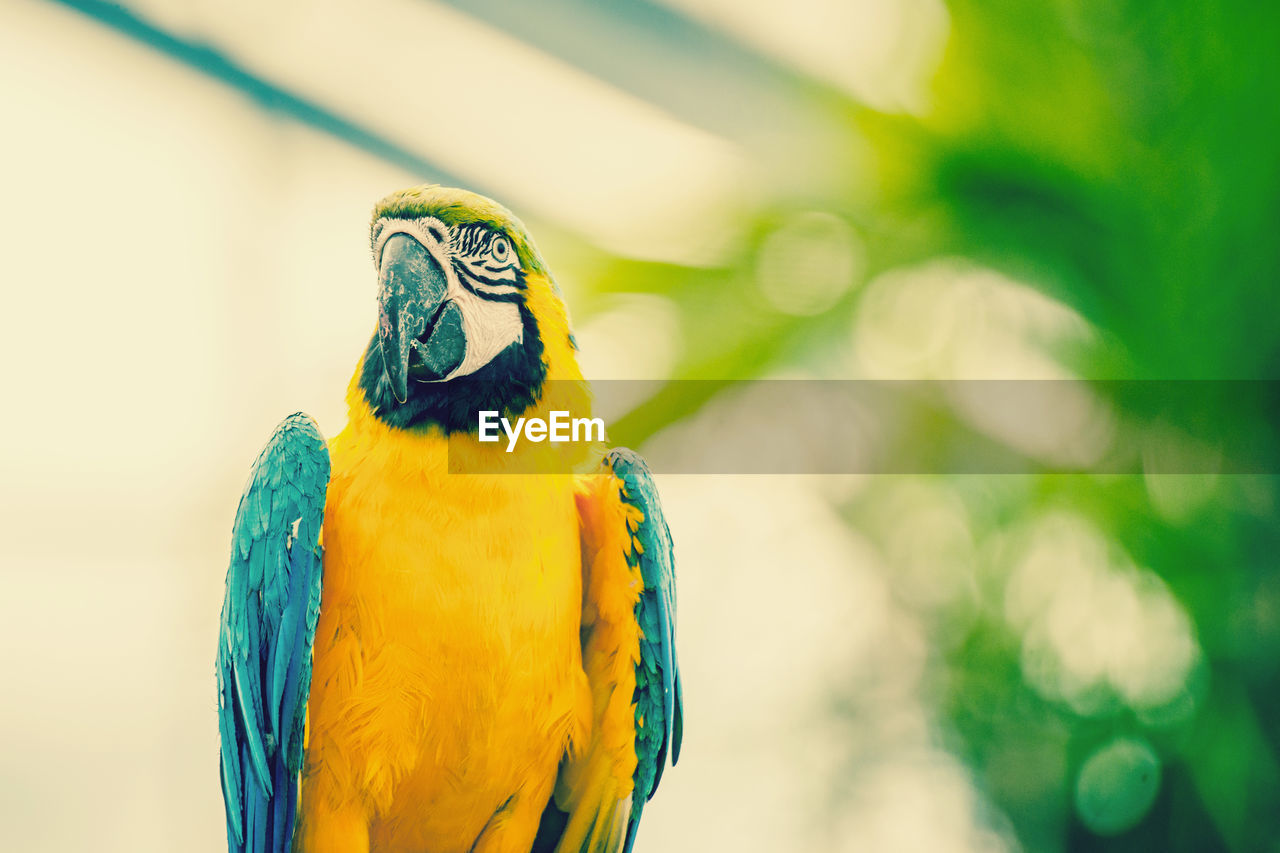 bird, animal wildlife, animal themes, animal, parrot, animals in the wild, vertebrate, yellow, focus on foreground, one animal, macaw, close-up, no people, gold and blue macaw, day, beak, beauty in nature, perching, outdoors, nature