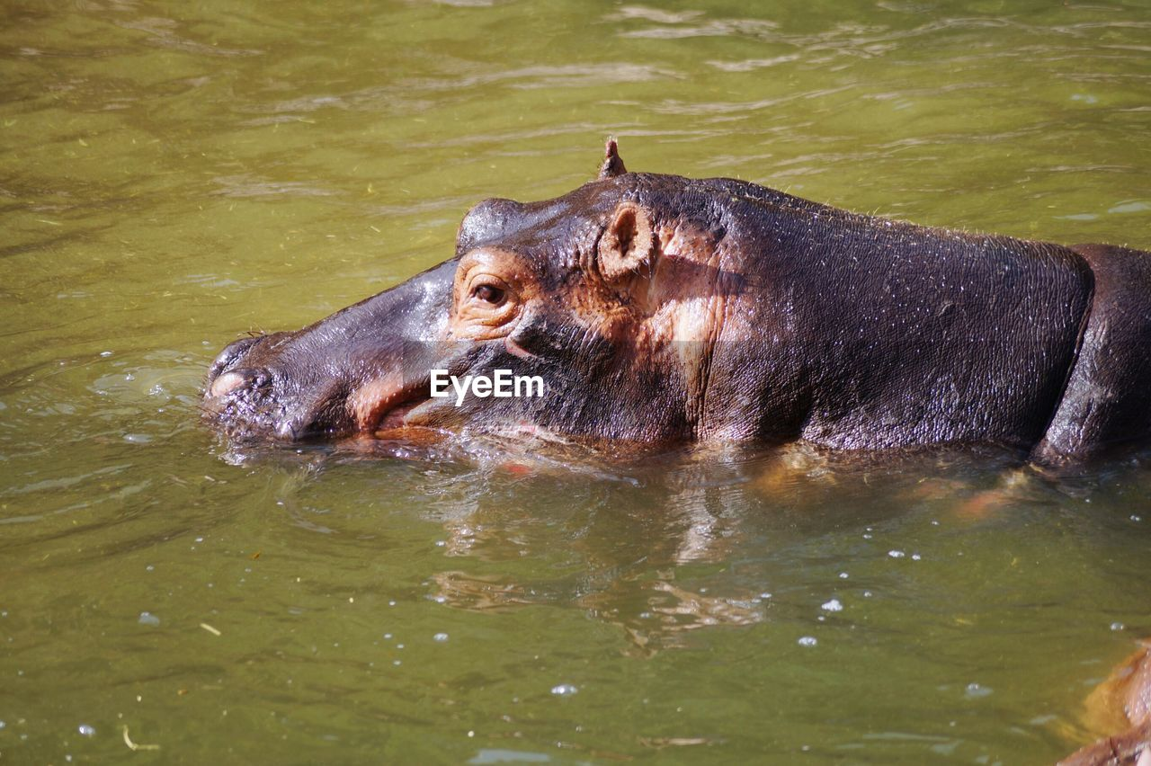 Hippopotamus Swimming In Water At Zoo