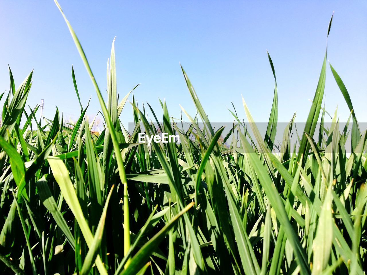 growth, plant, green color, field, land, sky, nature, crop, agriculture, tranquility, beauty in nature, landscape, no people, day, rural scene, farm, grass, cereal plant, sunlight, close-up, outdoors, blade of grass, plantation
