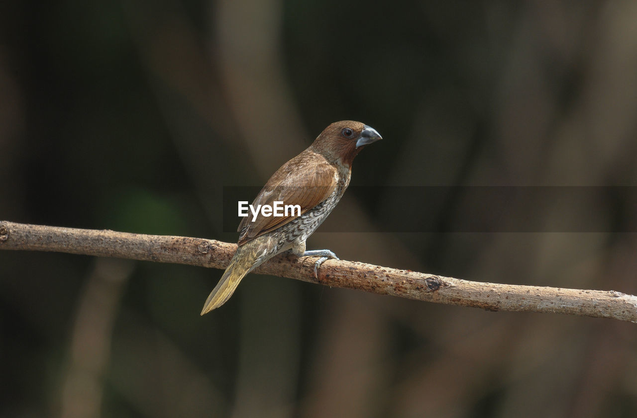 animal wildlife, vertebrate, animal themes, animals in the wild, animal, bird, perching, one animal, branch, plant, focus on foreground, tree, no people, day, nature, close-up, twig, outdoors, selective focus, looking away