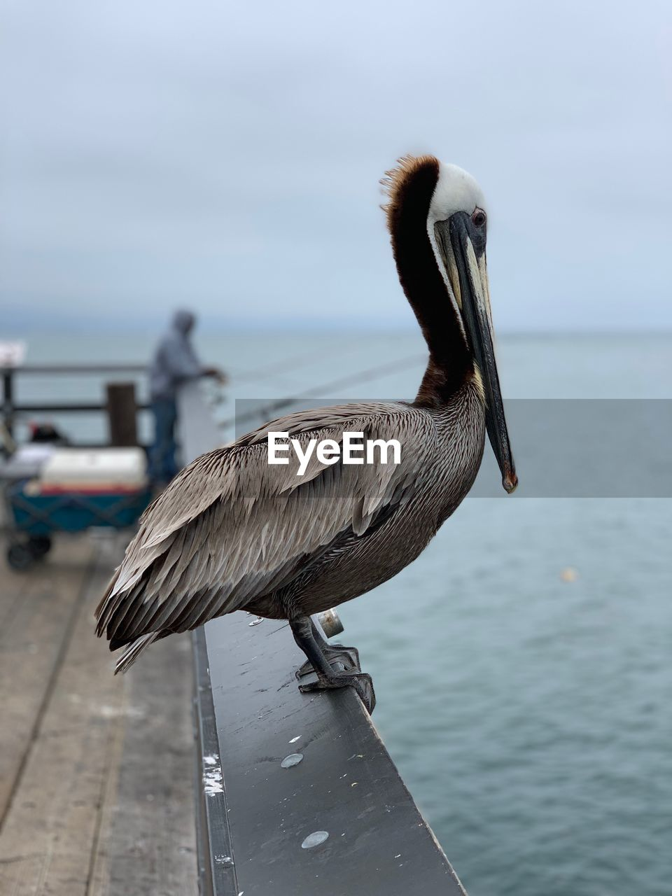 bird, vertebrate, animals in the wild, animal themes, animal, water, animal wildlife, focus on foreground, one animal, sea, nature, perching, pelican, day, sky, no people, close-up, outdoors, beak, wooden post