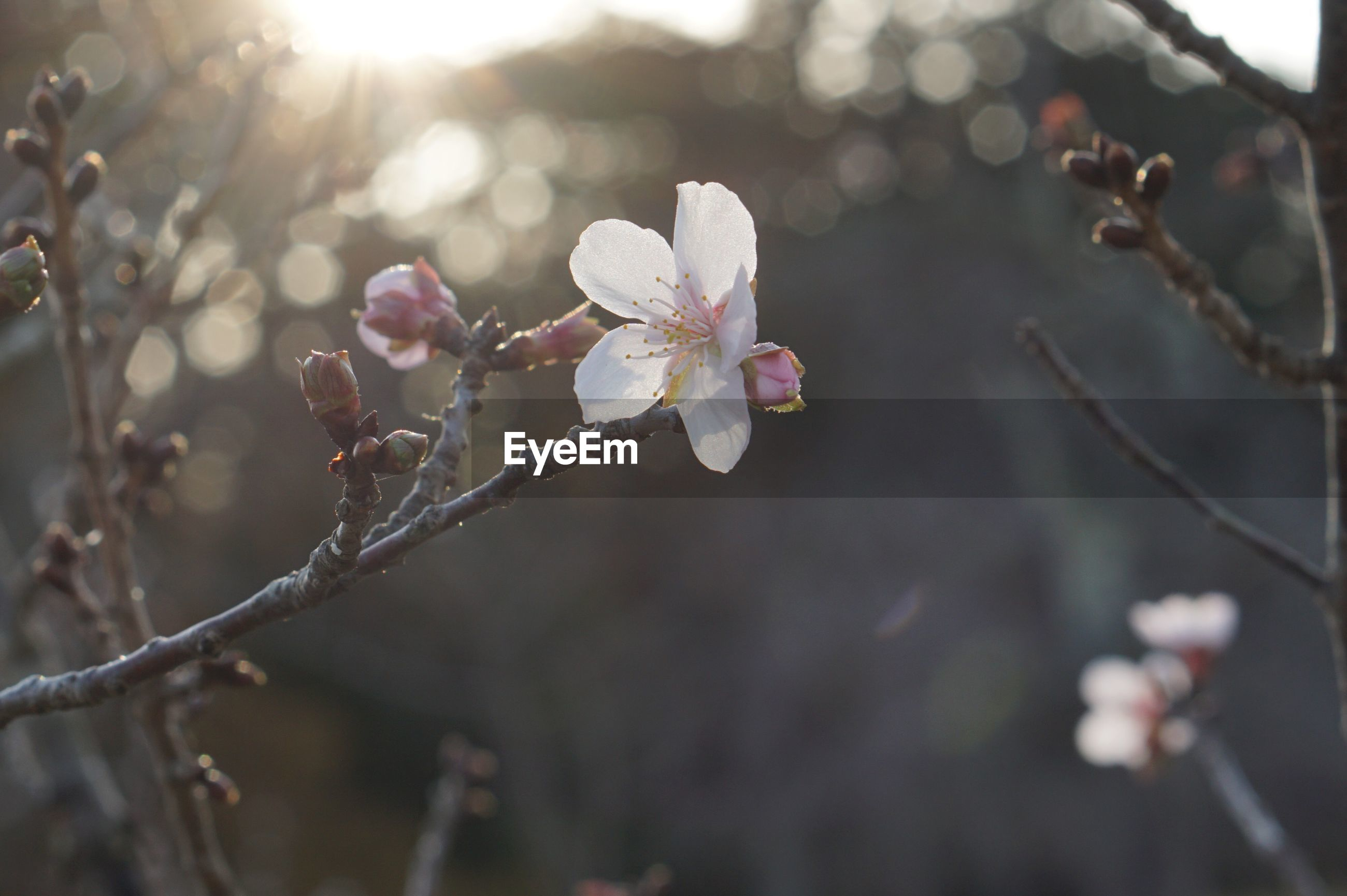 plant, flower, flowering plant, beauty in nature, growth, fragility, vulnerability, close-up, focus on foreground, freshness, day, branch, nature, petal, tree, no people, blossom, twig, outdoors, inflorescence, flower head, springtime, cherry blossom, pollen, plum blossom, cherry tree, spring