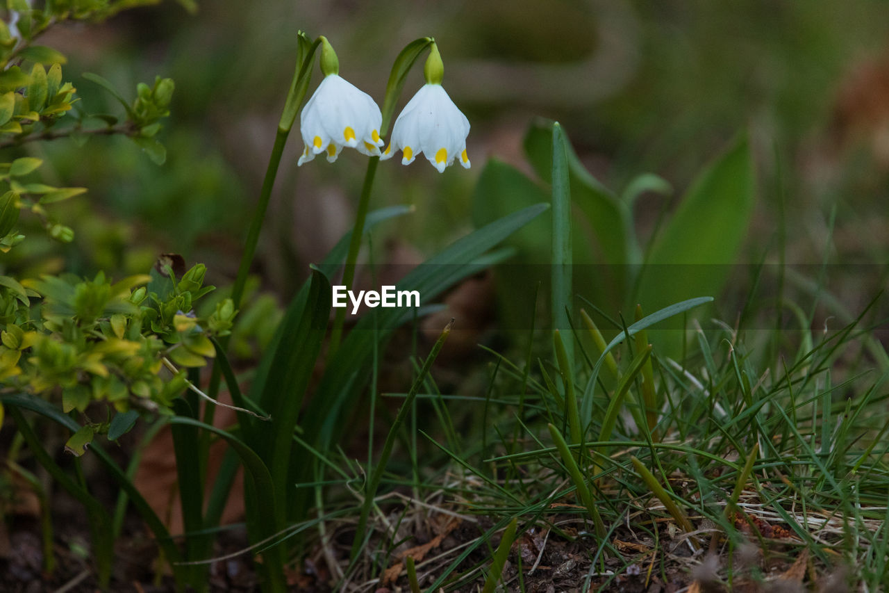 plant, flowering plant, growth, flower, vulnerability, fragility, freshness, beauty in nature, petal, land, field, green color, nature, flower head, close-up, white color, inflorescence, selective focus, no people, day, outdoors, blade of grass