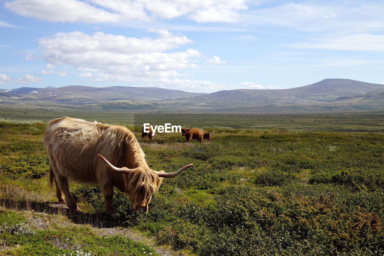 Cattle Grazing On Grassy Field Against Sky