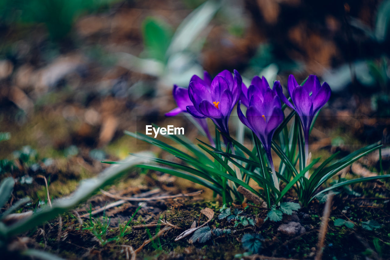 flower, flowering plant, plant, freshness, vulnerability, fragility, beauty in nature, petal, growth, close-up, purple, nature, selective focus, flower head, inflorescence, field, land, day, no people, focus on foreground, outdoors, crocus, iris