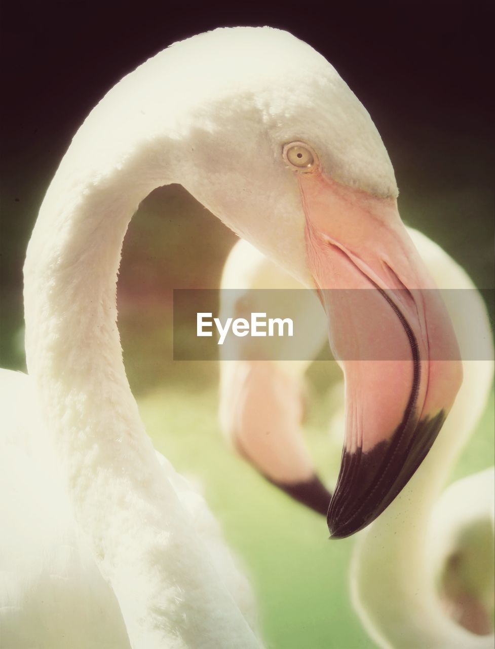 bird, animals in the wild, one animal, animal themes, beak, swan, animal wildlife, flamingo, white color, water bird, no people, close-up, nature, water, day, outdoors, beauty in nature