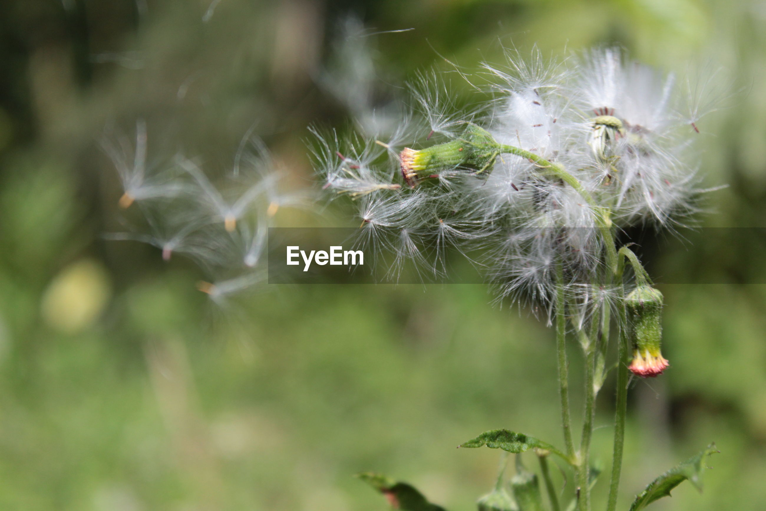 CLOSE-UP OF DANDELION ON PLANT OUTDOORS