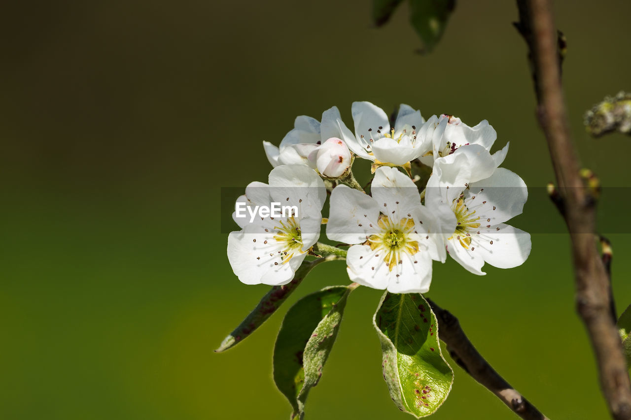flower, fragility, white color, blossom, nature, growth, petal, apple blossom, beauty in nature, freshness, botany, stamen, close-up, no people, flower head, springtime, tree, branch, day, outdoors, blooming