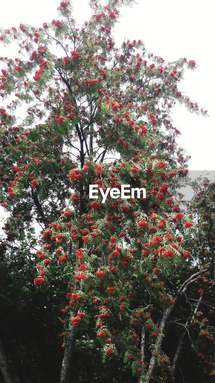 growth, tree, beauty in nature, nature, low angle view, no people, branch, outdoors, day, flower, sky, red, tranquility, freshness, plant, close-up
