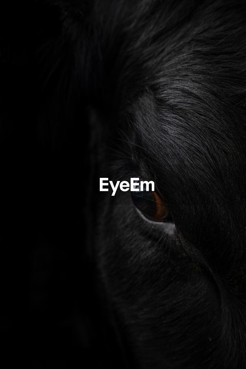 animal themes, mammal, domestic animals, one animal, animal, pets, domestic, animal body part, vertebrate, close-up, no people, animal eye, indoors, dog, black color, canine, animal head, eye, portrait, looking away, black background