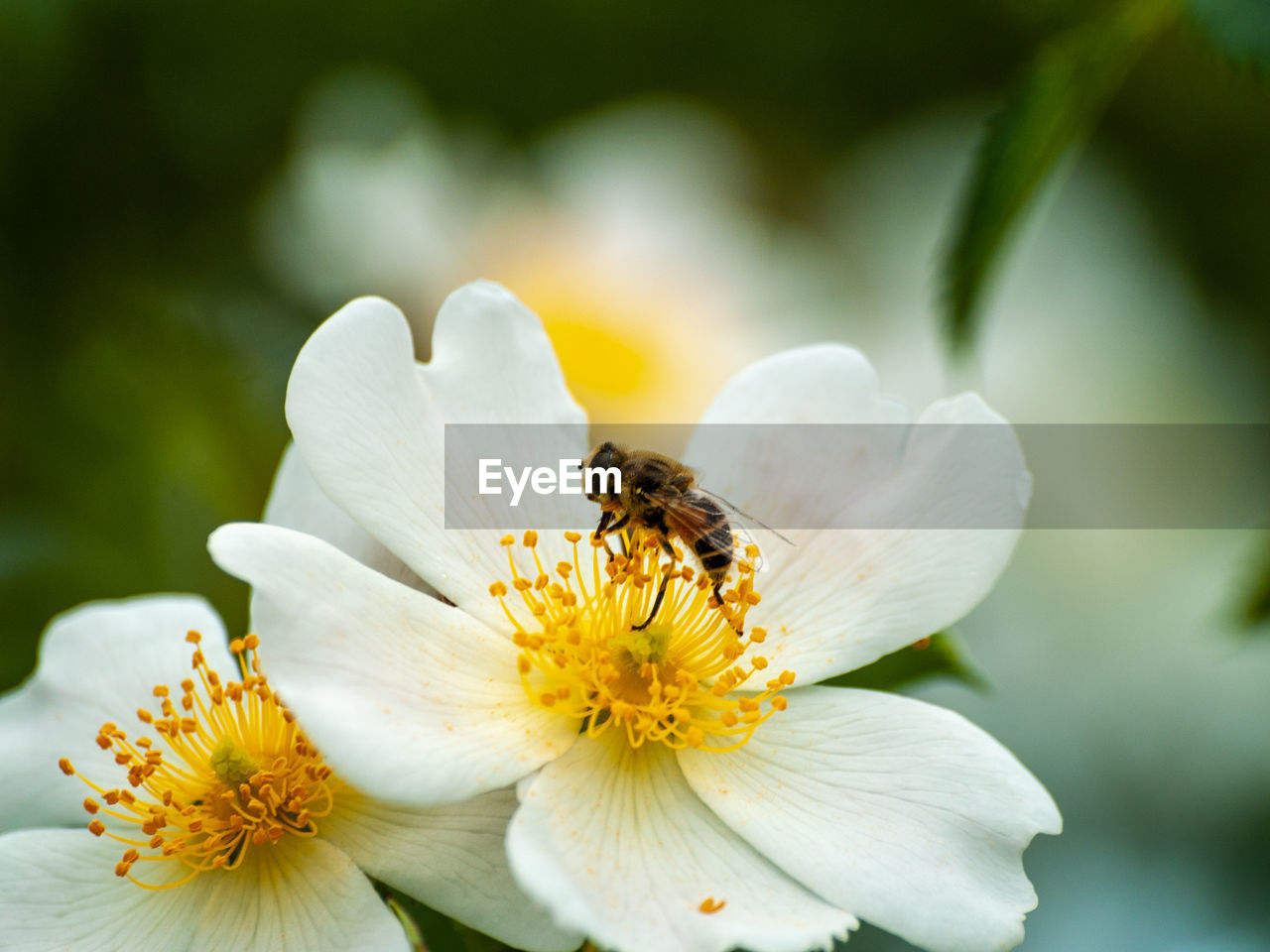 flower, flowering plant, fragility, invertebrate, petal, vulnerability, beauty in nature, freshness, insect, animal, animal themes, flower head, plant, animal wildlife, animals in the wild, growth, close-up, one animal, pollen, bee, pollination, no people, outdoors