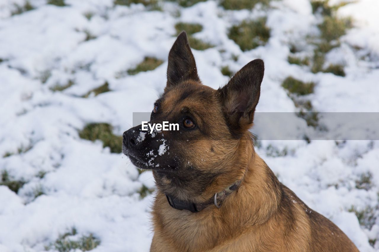 Close-up of dog in winter
