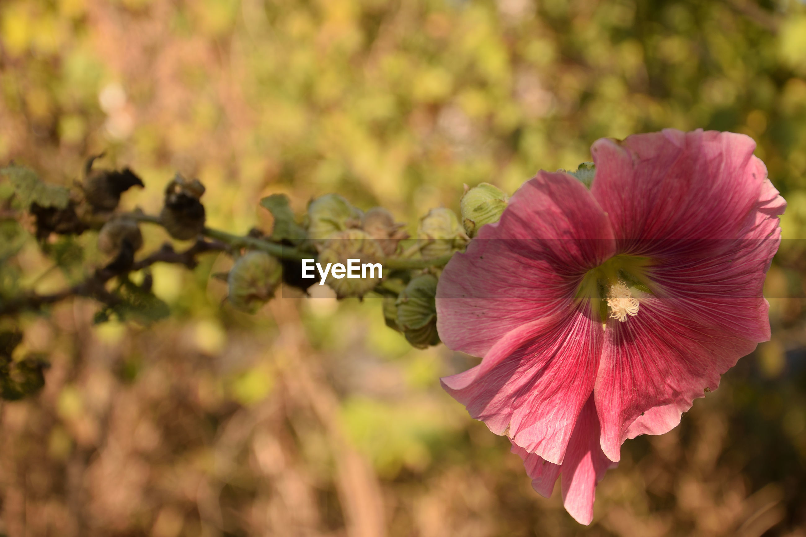 CLOSE-UP OF PINK HIBISCUS PLANT