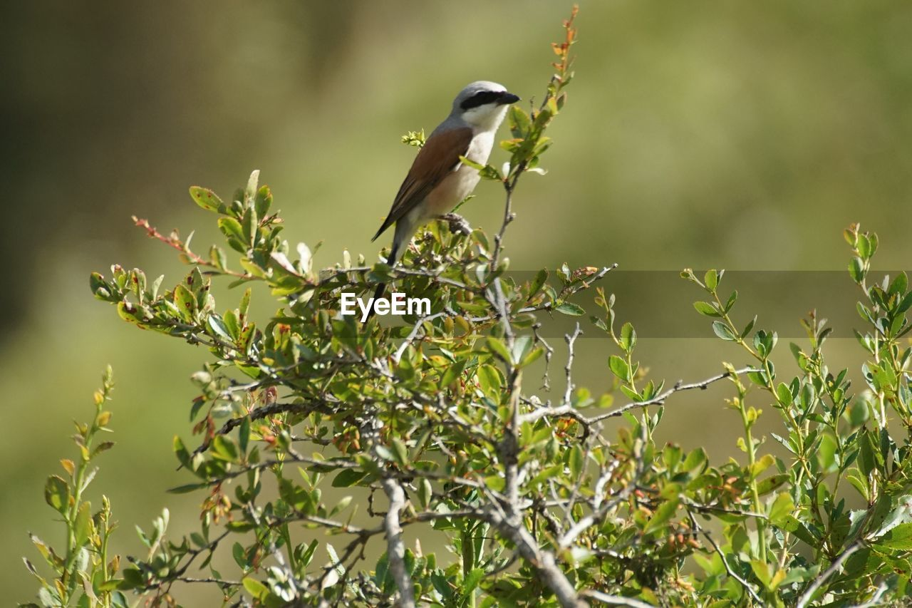bird, animal themes, animal, animals in the wild, animal wildlife, vertebrate, one animal, perching, plant, green color, tree, plant part, no people, branch, growth, leaf, nature, day, beauty in nature, selective focus, outdoors