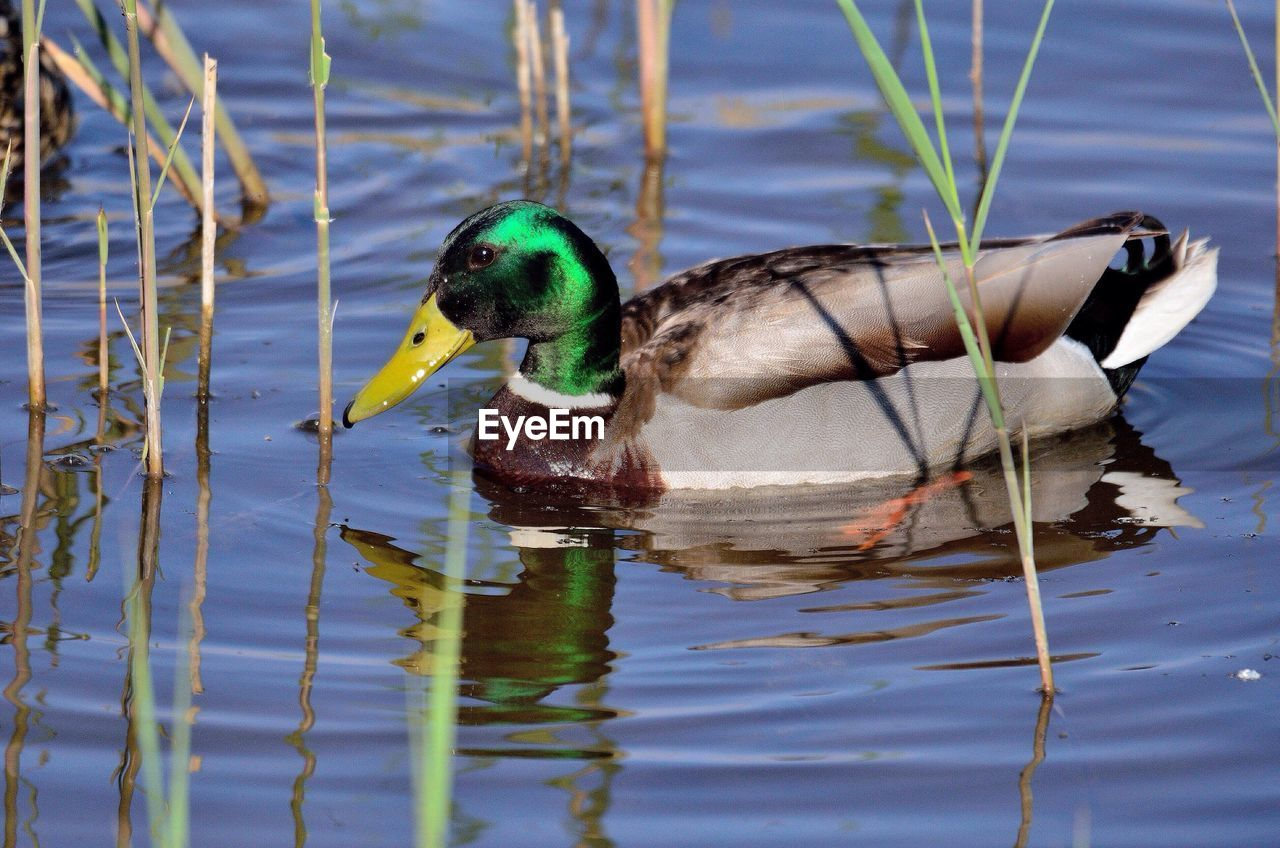 animal themes, water, lake, animal, bird, one animal, animal wildlife, animals in the wild, vertebrate, duck, swimming, waterfront, poultry, no people, day, nature, reflection, mallard duck, water bird, floating on water