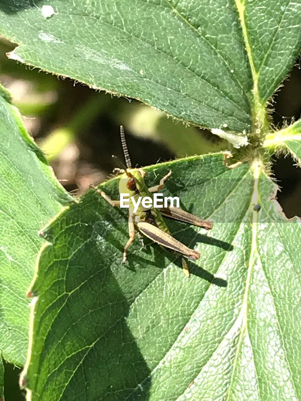 invertebrate, green color, insect, plant part, one animal, animal wildlife, animal themes, animal, animals in the wild, leaf, close-up, nature, plant, day, no people, outdoors, growth, focus on foreground, grasshopper, leaf vein