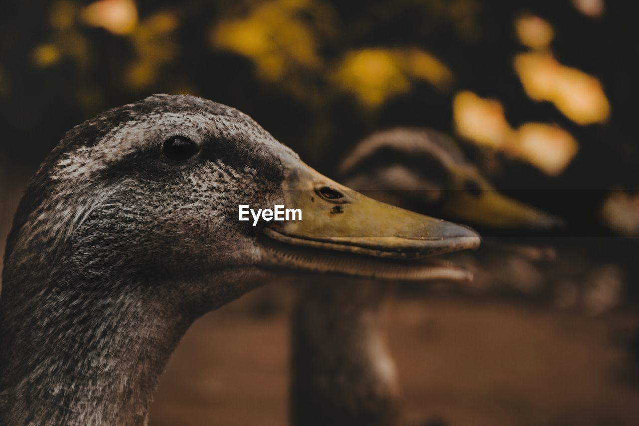 Side View Of Female Mallard Ducks