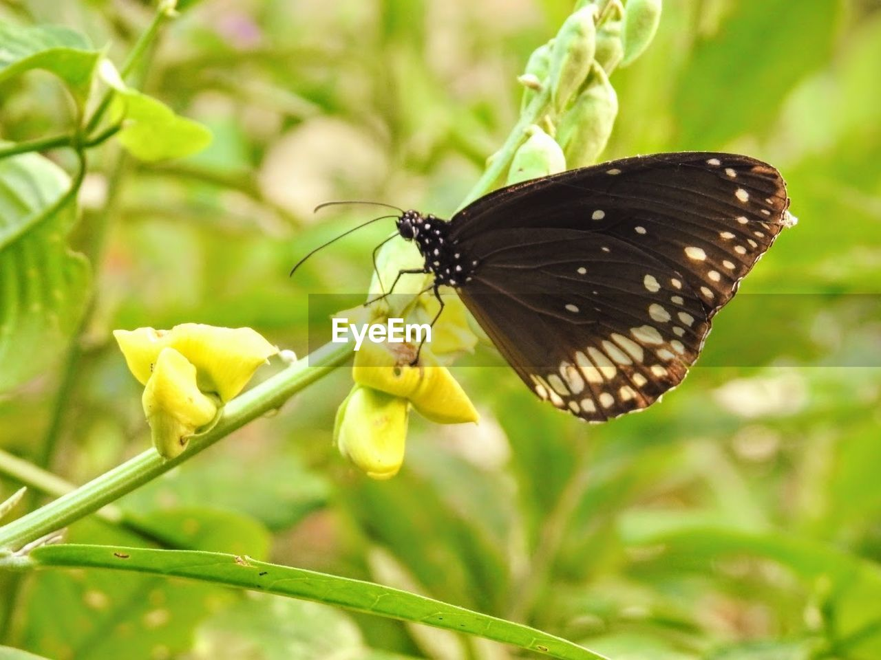 insect, animal themes, butterfly - insect, one animal, nature, animals in the wild, plant, freshness, butterfly, flower, animal wildlife, outdoors, fragility, focus on foreground, no people, green color, beauty in nature, leaf, growth, close-up, day, yellow, perching, pollination, flower head, spread wings
