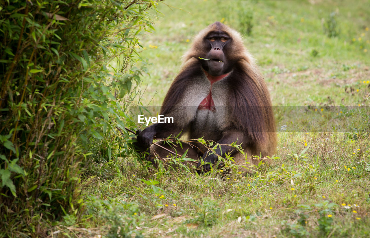 animal wildlife, primate, animals in the wild, mammal, plant, grass, sitting, vertebrate, one animal, no people, day, nature, ape, outdoors, land, baboon, animal family, care