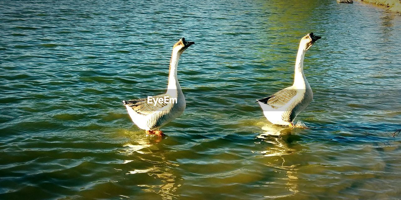 water, animals in the wild, animal wildlife, bird, animal themes, vertebrate, waterfront, group of animals, lake, animal, swimming, no people, two animals, day, nature, beauty in nature, water bird, goose, spread wings, animal family, gosling