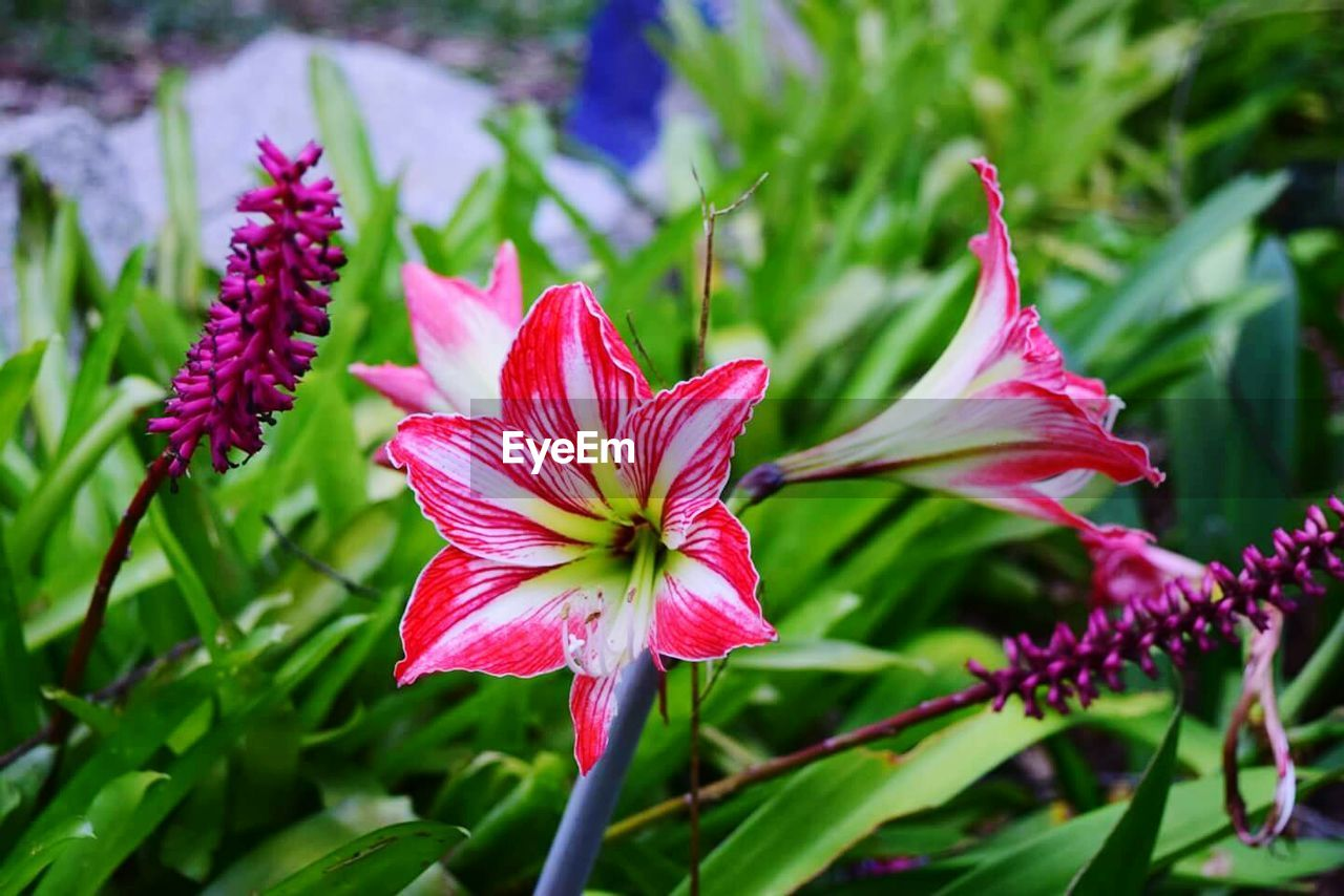 growth, flower, nature, fragility, petal, beauty in nature, plant, freshness, close-up, no people, flower head, outdoors, blooming, day, day lily