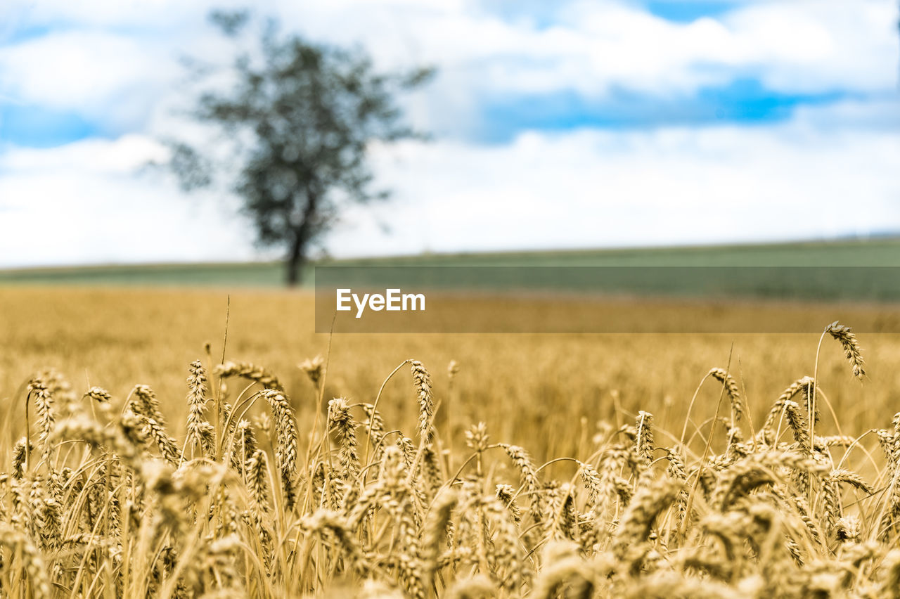 field, agriculture, farm, nature, rural scene, landscape, tranquility, crop, sky, tranquil scene, beauty in nature, growth, day, scenics, no people, cereal plant, outdoors, wheat, tree