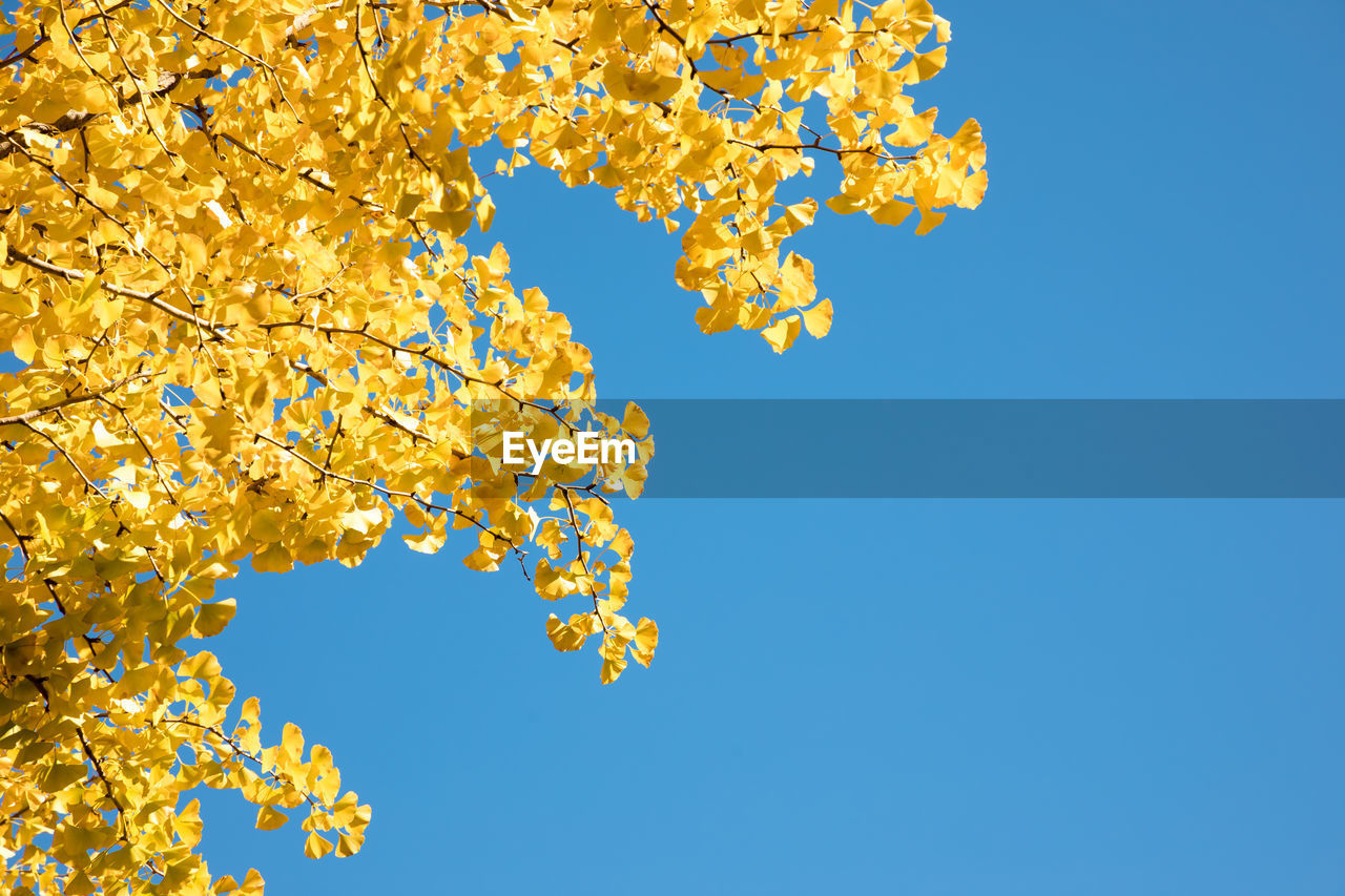 plant, sky, low angle view, beauty in nature, tree, blue, growth, nature, clear sky, yellow, no people, branch, day, flowering plant, flower, tranquility, outdoors, orange color, change, autumn, cherry blossom