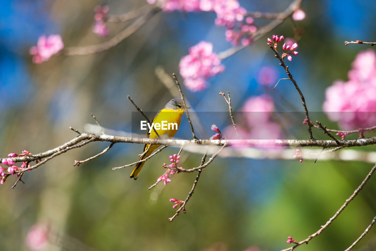 bird, animal themes, animal, animal wildlife, animals in the wild, perching, vertebrate, one animal, branch, plant, tree, focus on foreground, flower, no people, beauty in nature, flowering plant, nature, day, selective focus, outdoors, plum blossom