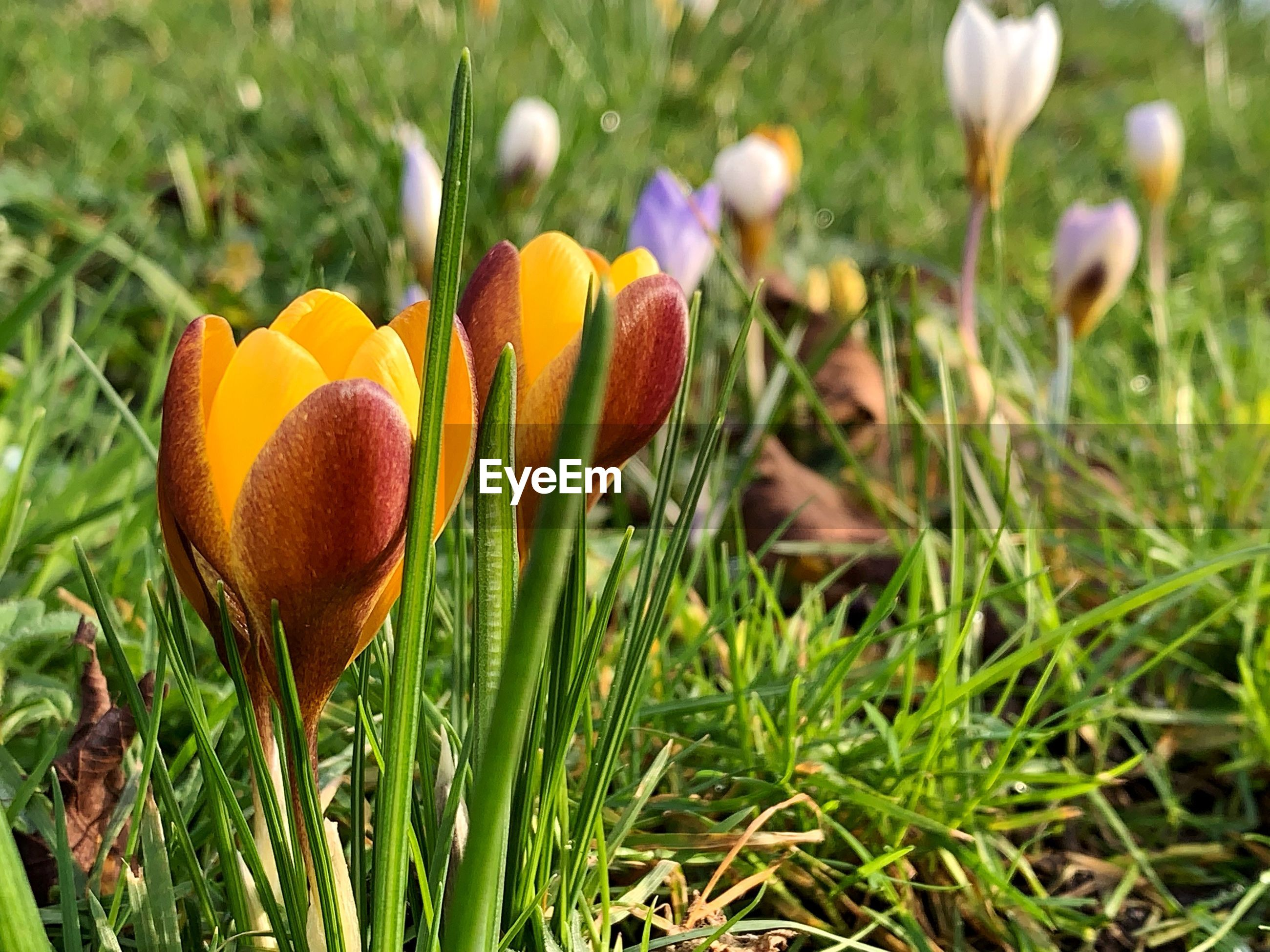 CLOSE-UP OF FRESH WHITE CROCUS FLOWERS IN FIELD