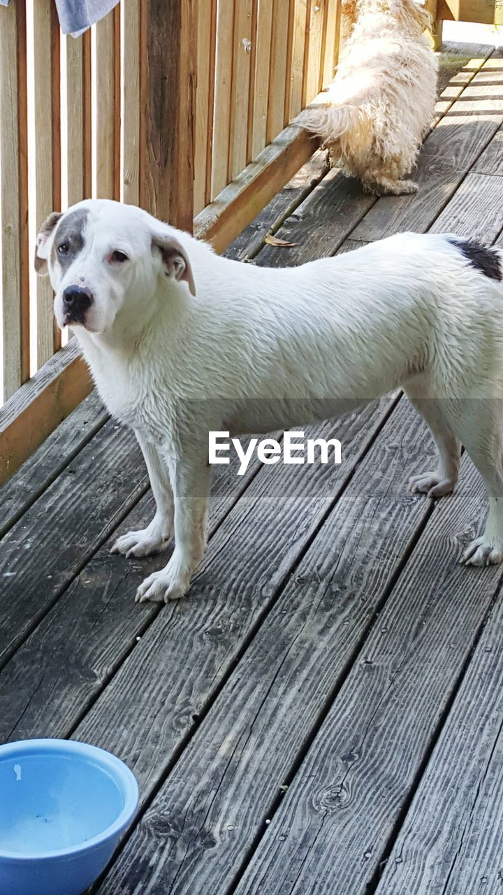 dog, wood - material, pets, domestic animals, one animal, outdoors, deck, animal themes, cute, day, mammal, sitting, no people, close-up