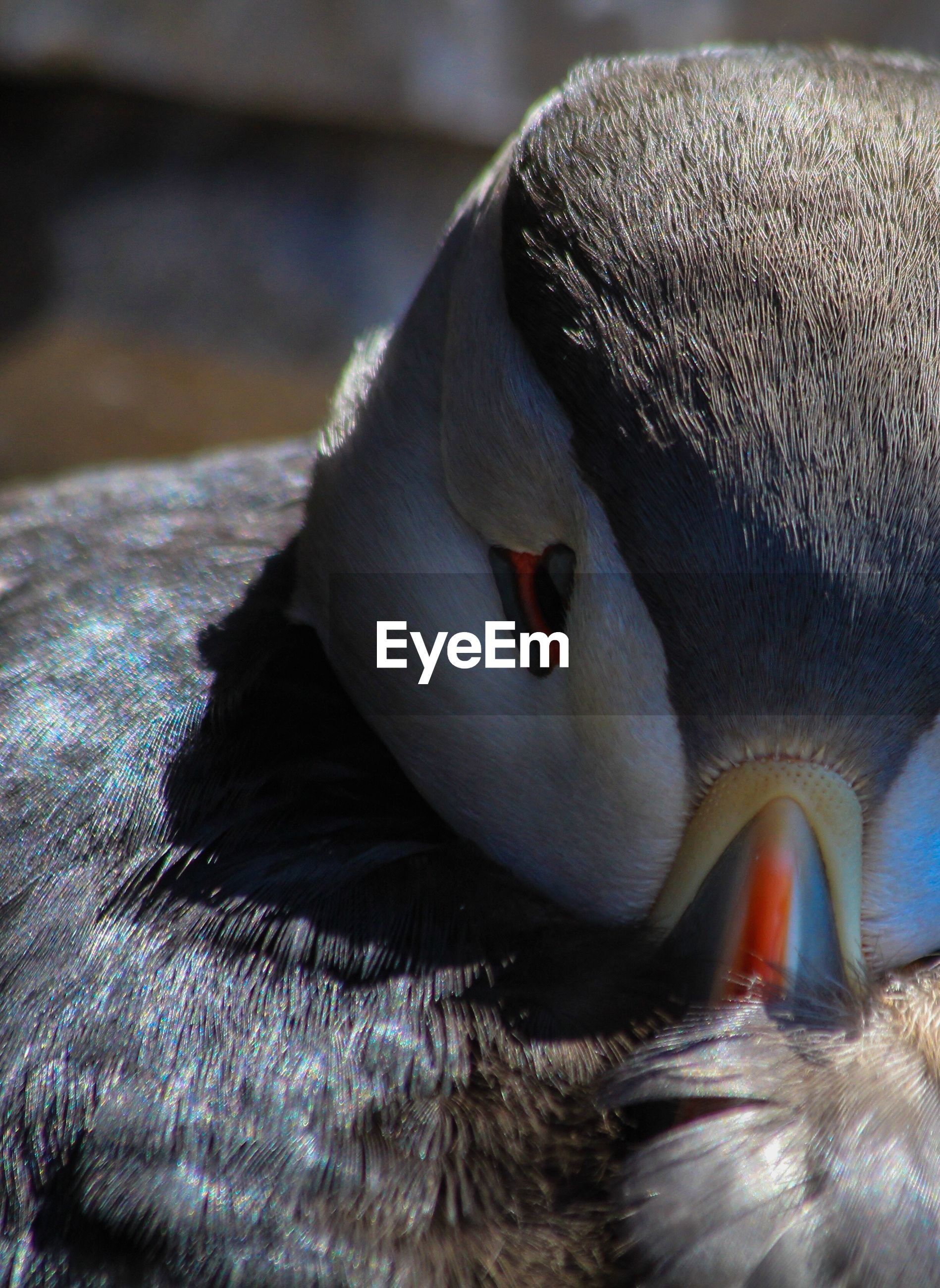 Cropped image of puffin
