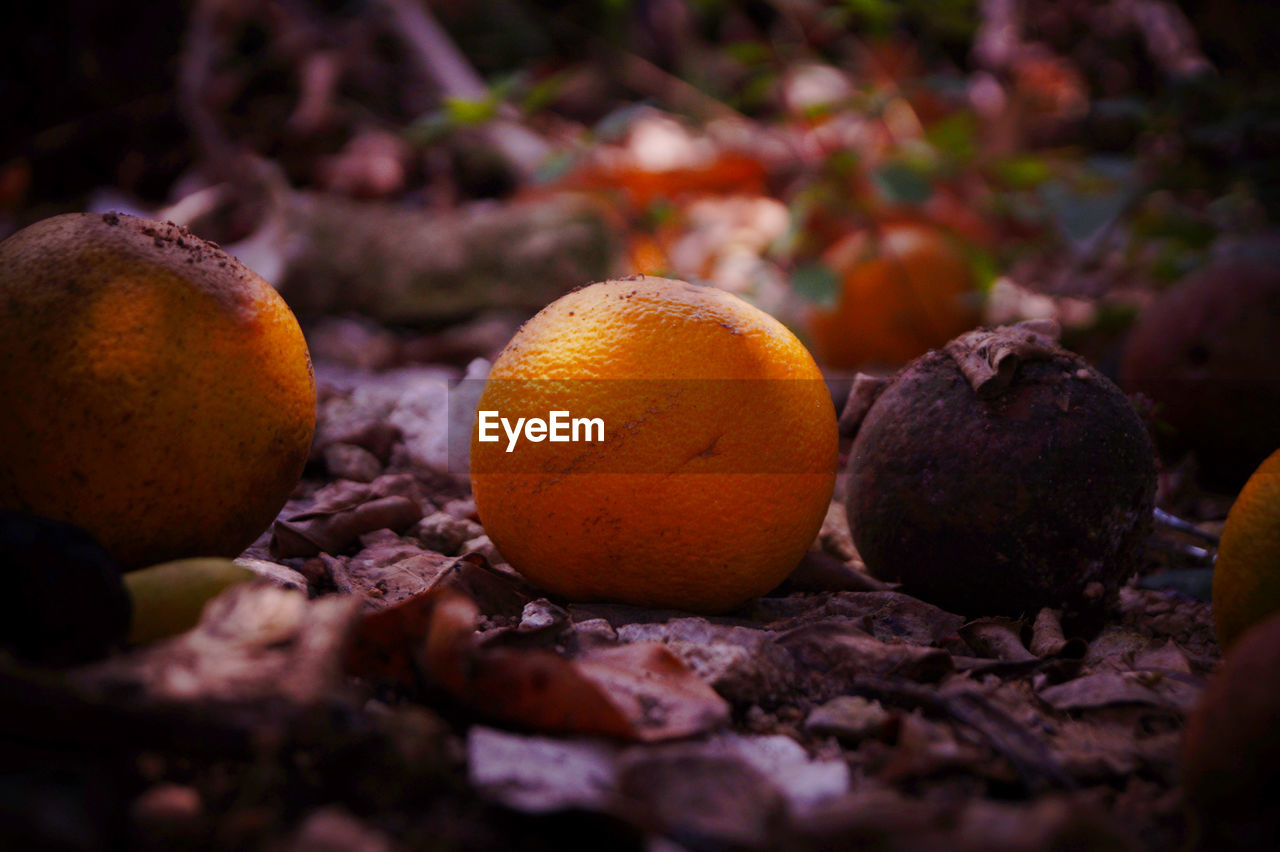 food, food and drink, fruit, healthy eating, wellbeing, citrus fruit, selective focus, freshness, orange color, no people, close-up, orange, orange - fruit, nature, day, still life, field, outdoors, land, organic, ripe