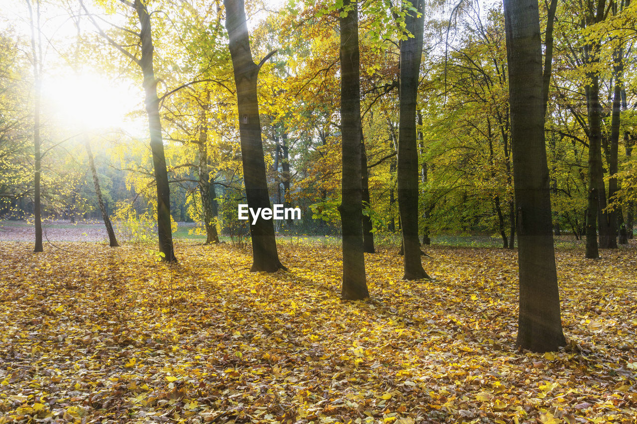 tree, plant, autumn, land, leaf, plant part, tranquility, beauty in nature, nature, sunlight, change, tranquil scene, growth, day, forest, scenics - nature, falling, no people, non-urban scene, tree trunk, outdoors, leaves, woodland, fall