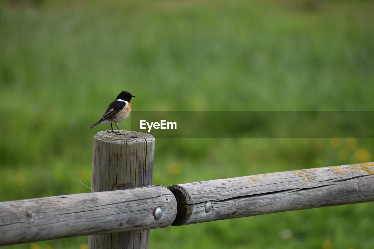 animal wildlife, animals in the wild, perching, bird, one animal, vertebrate, animal themes, wood - material, animal, no people, day, focus on foreground, wooden post, post, barrier, outdoors, nature, boundary, railing, fence