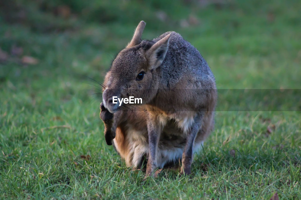 grass, mammal, animal wildlife, one animal, plant, field, vertebrate, animals in the wild, land, nature, no people, day, green color, domestic animals, outdoors, focus on foreground, rodent, herbivorous