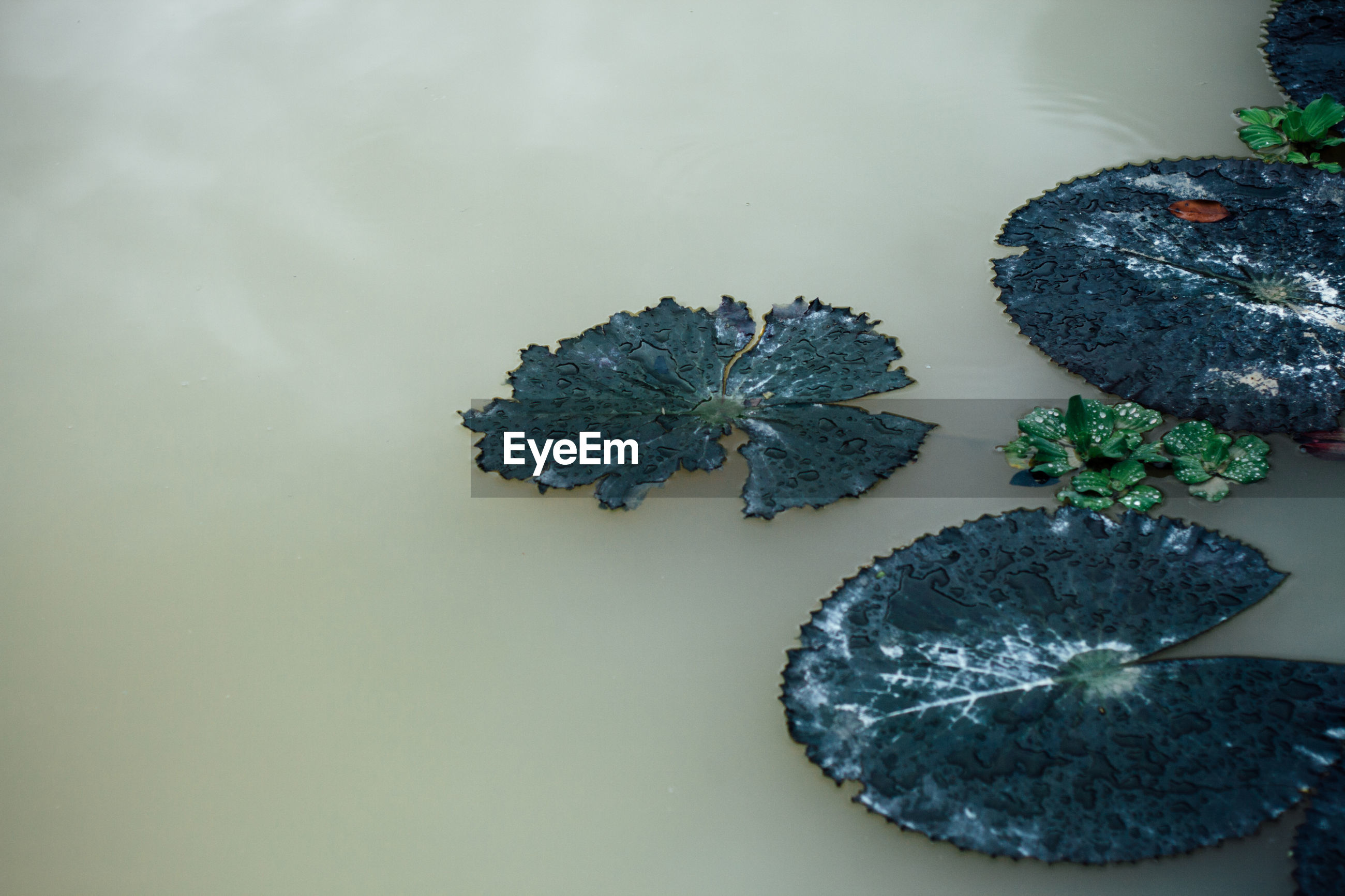 Close-up of dry leaves floating on pond