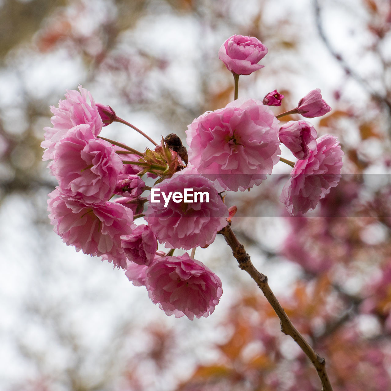flower, flowering plant, pink color, fragility, plant, freshness, growth, vulnerability, beauty in nature, close-up, branch, tree, blossom, petal, springtime, no people, nature, cherry blossom, day, inflorescence, flower head, cherry tree, outdoors, pollen, plum blossom, spring
