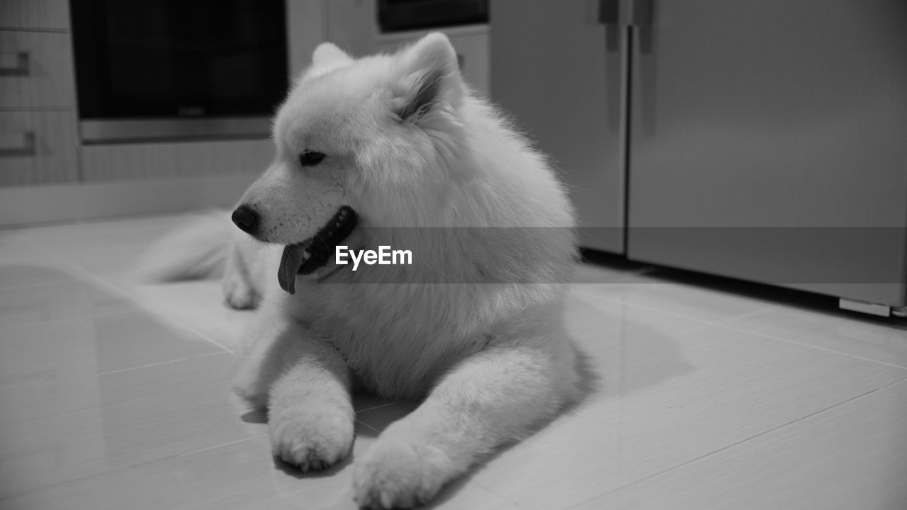 domestic, one animal, pets, mammal, domestic animals, animal, animal themes, dog, canine, vertebrate, flooring, looking away, indoors, no people, looking, home interior, white color, relaxation, close-up, pomeranian, mouth open, animal mouth