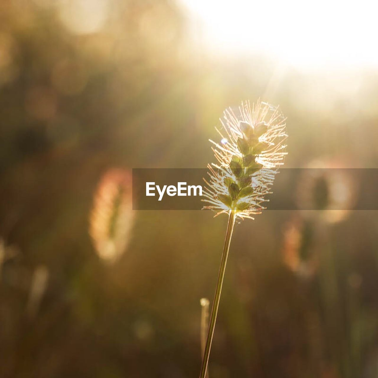 growth, nature, dandelion, flower, plant, fragility, field, focus on foreground, freshness, beauty in nature, sunlight, no people, outdoors, close-up, day, flower head, thistle, sky