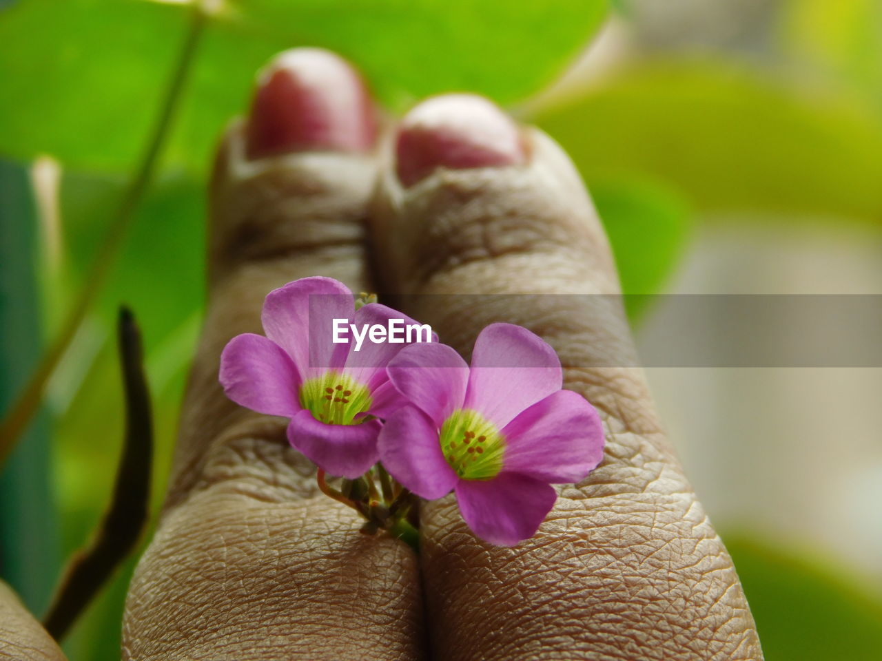 flowering plant, flower, plant, human body part, close-up, beauty in nature, fragility, freshness, body part, human hand, vulnerability, hand, petal, real people, nature, pink color, focus on foreground, one person, inflorescence, flower head, finger, purple, human foot