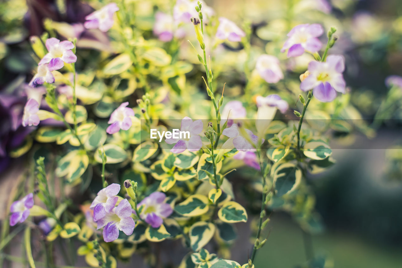 flowering plant, flower, plant, beauty in nature, growth, freshness, vulnerability, fragility, close-up, petal, nature, purple, day, flower head, no people, inflorescence, selective focus, focus on foreground, plant part, outdoors