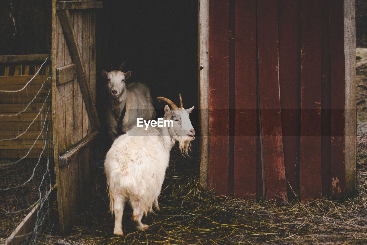 SHEEP IN ANIMAL PEN