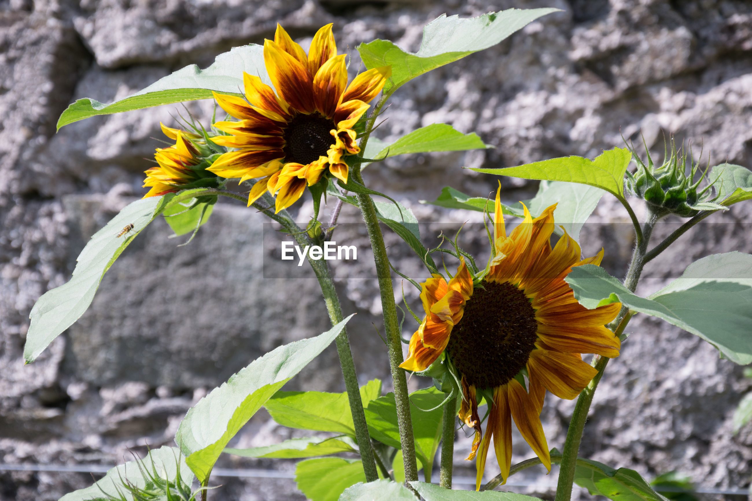CLOSE-UP OF SUNFLOWER BLOOMING IN PARK