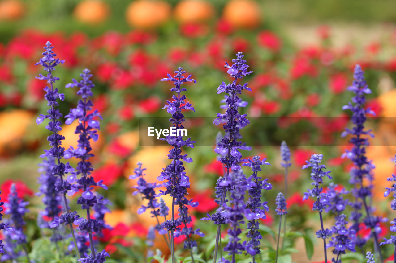 flowering plant, flower, plant, beauty in nature, freshness, fragility, vulnerability, growth, close-up, selective focus, no people, nature, day, field, land, petal, focus on foreground, flower head, outdoors, purple