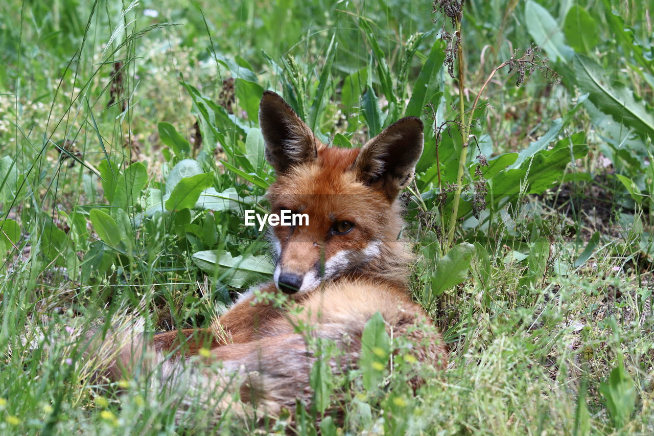 animal, one animal, animal themes, grass, mammal, plant, nature, fox, selective focus, portrait, animal wildlife, day, vertebrate, animals in the wild, land, field, dog, no people, looking at camera, canine, outdoors, animal head