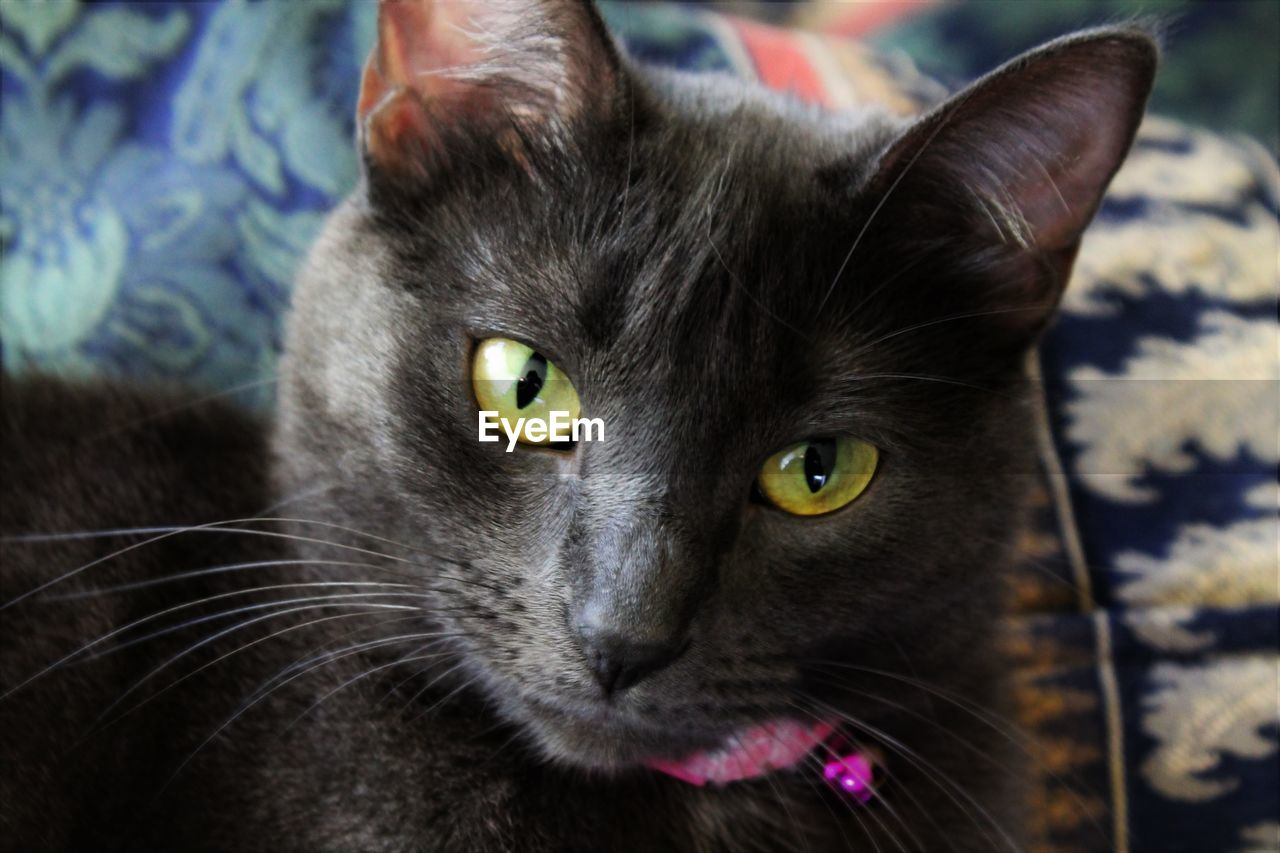 mammal, animal themes, domestic animals, animal, pets, domestic, cat, domestic cat, feline, one animal, vertebrate, portrait, close-up, looking at camera, whisker, animal body part, indoors, no people, focus on foreground, black color, animal head, yellow eyes, animal eye